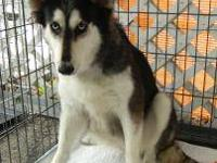 Siberian Husky - Sheba - Medium - Adult - Female - Dog