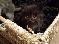 free kittens for sale in Minnesota Classifieds & Buy and Sell in