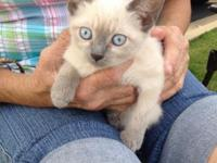 Siemese female kittens Vac and worked litter trained