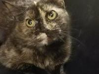 Sienna is a sweet adult, domestic short hair. Sienna is