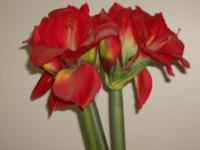 "3 beautiful silk Amaryllis approx 30"" tall. Bright red,"