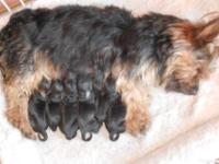 We have 6 brand new beautiful Silkalier puppies. Born