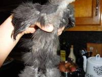 WE HAVE 6 SILKIE BABY CHICKENS THAT NEED A NEW HOME.