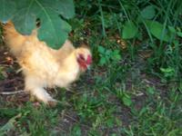 Silkie bantam cockerel. Four-months-old. Buff/gold
