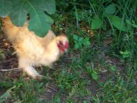 Animal Type: Birds Breed: Chickens Silkie bantam