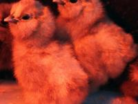 Bearded Bantam Silkie Chicks available year-round.
