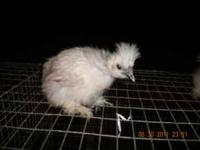 We have some Silkie chicks for sale at $3.50 each.