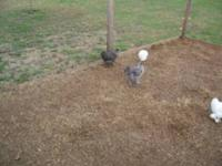 I have 2 Silkie Chochin cross chickens 1 Hen 1 Rooster