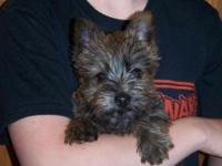 Silky-Cairn Terrier Puppies Our young puppies include