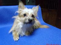 BEAUTIFUL 1/2 SILKY TERRIER 1/2 POMERANIAN YOUNG