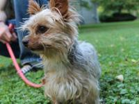 Silky Terrier - Captain***adopted!!!*** - Small - Young