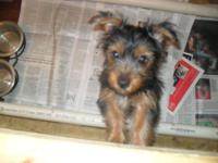 Silky Terrier for sale - 16 Week old Female Silky