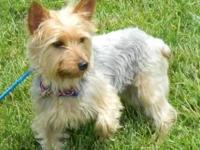 Silky Terrier - Hudson - Small - Adult - Male - Dog