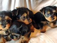 Pure breed Silky Terrier Puppies for sale: Total 4 - 2