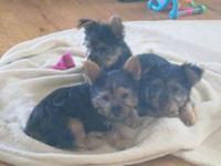I have three sweet little Silky puppies. Silky terriers