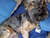 Silky Terrier - Stella - Small - Young - Female - Dog
