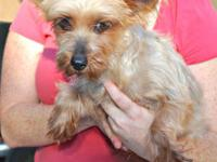 Silky Terrier - Tiffany - Small - Adult - Female - Dog