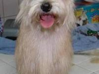 Silky Terrier - Tinker 2 - Small - Young - Female -