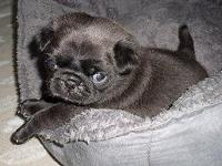 MR.WRINKLES is an AKC Black Male Pug. This little child