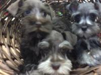 AKC mini schnauzer puppies. Approx adult wr. 8 lbs. one