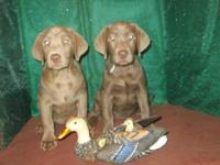 I have a Silver Labrador litter born on Sept 6 2015