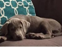 AKC Registered Silver lab puppy: 11 weeks old, dewclaws