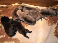 Our Dahila had 7 Pug puppies .. We have 4 for sale. 1