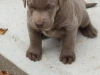 Silver and Charcoal Lab Puppies for sale, papered with