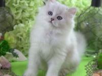 Finnegan is a male silver/blue-cream (rare color)
