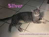 Silver's story Silver is a beautiful Chartreux mix