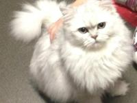 Lucy (a beautiful silver Chinchilla Persian kitten).