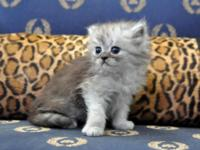 Absolutely Beautiful Chinchilla Persian kittens. We