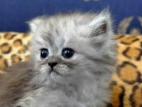 Absolutely Beautiful Chinchilla Persian kittens. They