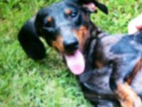 I have a 20 month aged guy silver dapple doxie. He is