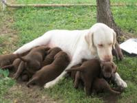 Silver-factored lab puppies ready to go to new homes.