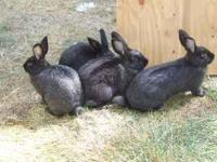 I have couple of Silver Fox rabbits 15 weeks old ,for
