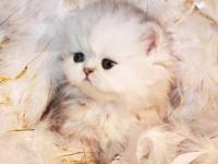 Persians Of Jewels Vaughn Cattery is very pleased to