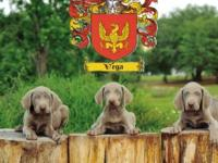 AKC - Silver Grey Weimaraner Puppies litter Dob: