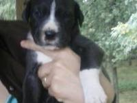 We have an AKC Registered Silver Harlequin Great Dane