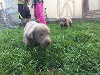 AKC silver lab puppies for sale $800.00 dam and sire