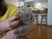 MALE SILVER LAB PUPPY. AKC WITH FULL REGISTRATION. DEW