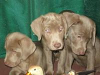 Silver AKC registered Labrador pups they were born on
