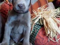 Silver Lab puppies -- Both Males and Females available.