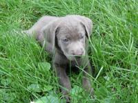 I have two gorgeous silver lab pups who are prepared