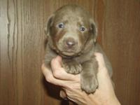 We have Silver Chocolate Dilute Labrador Retriever