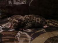 Tica Registered Male Silver Bengal He will have a