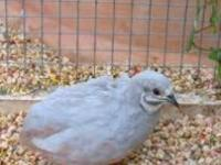 AJ-AVIARY We have 3 silver button quail available