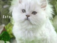 This is Kata! Kata is a male silver Persian kitten born