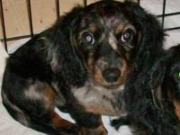Waylon is a 4.5 month old Mini Silver Dapple Dachshund.