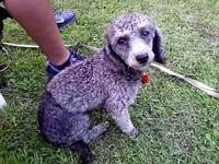 Sweet cuddly loving affectionate mini poodle is